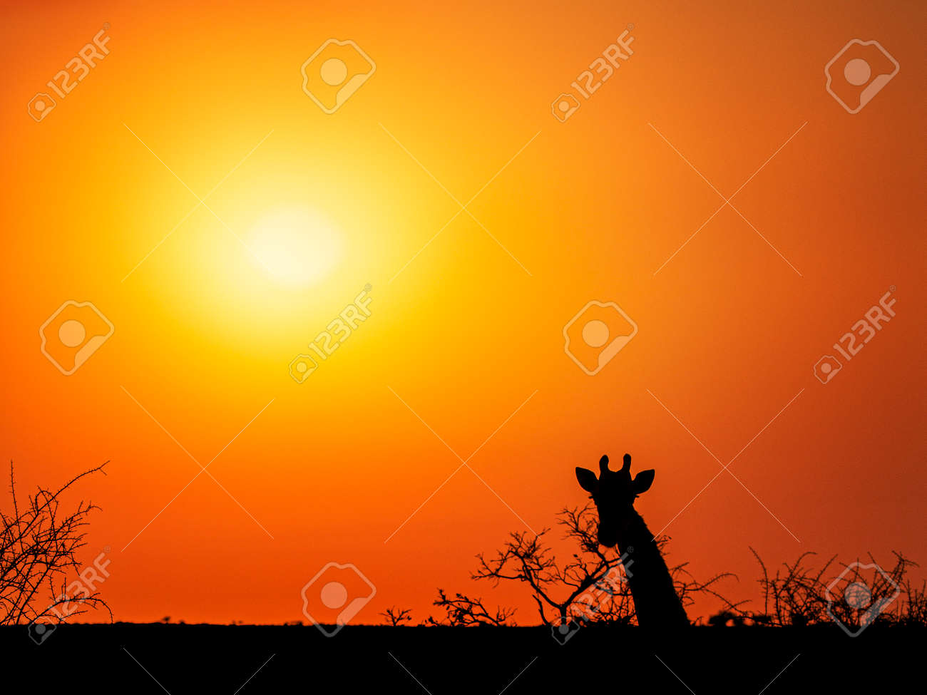 Orange sunset in South Africa landscape with silhouette of giraffe looking towards camera and some branches - 155126025