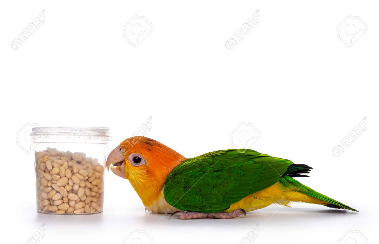Young White bellied caique bird, laying flat on the floor. Looking hungry to bucket with seeds. Isolated on white background. - 164293300