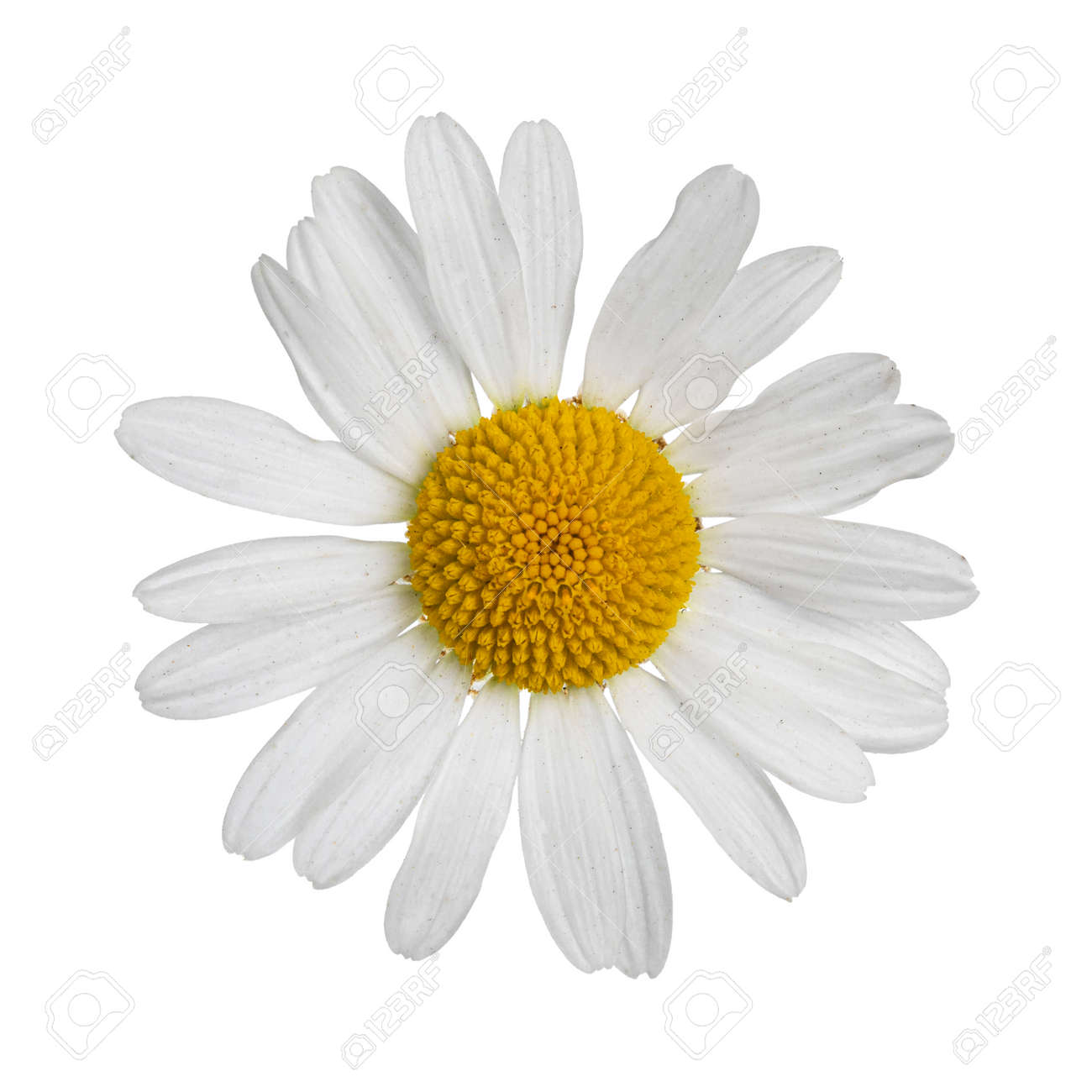 Top view of Oxeye Daisy aka Leucanthemum vulgare. Single flower on stem. Isolated on a white background. - 173357214