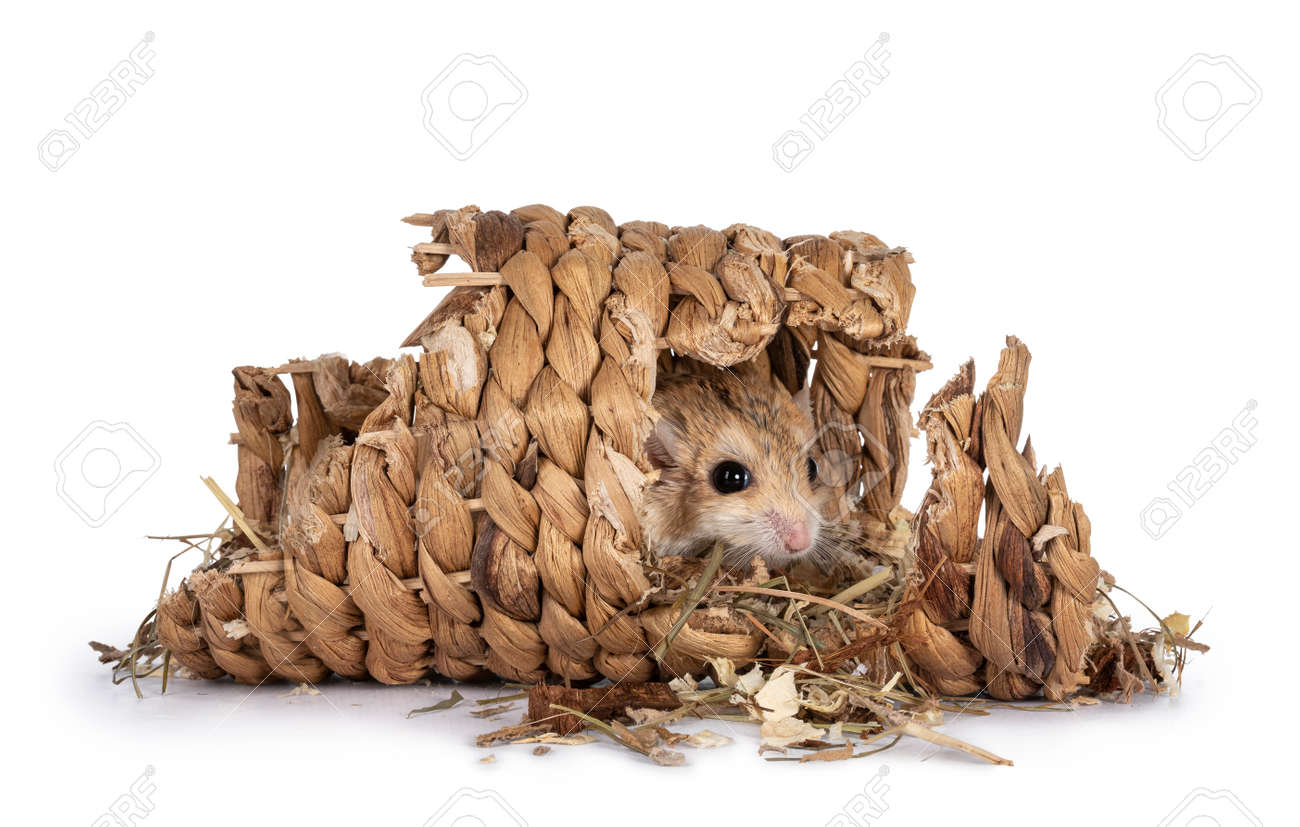 Cute fat tailed Gerbil hiding in rattan tunnel, looking towards camera. Isolated on a white background. - 172742550