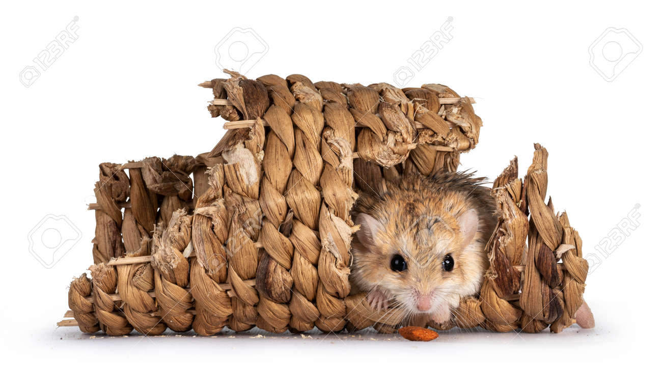 Cute fat tailed Gerbil sitting in rattan tunnel, looking straight to camera with food in front of nose. Isolated on a white background. - 172742568