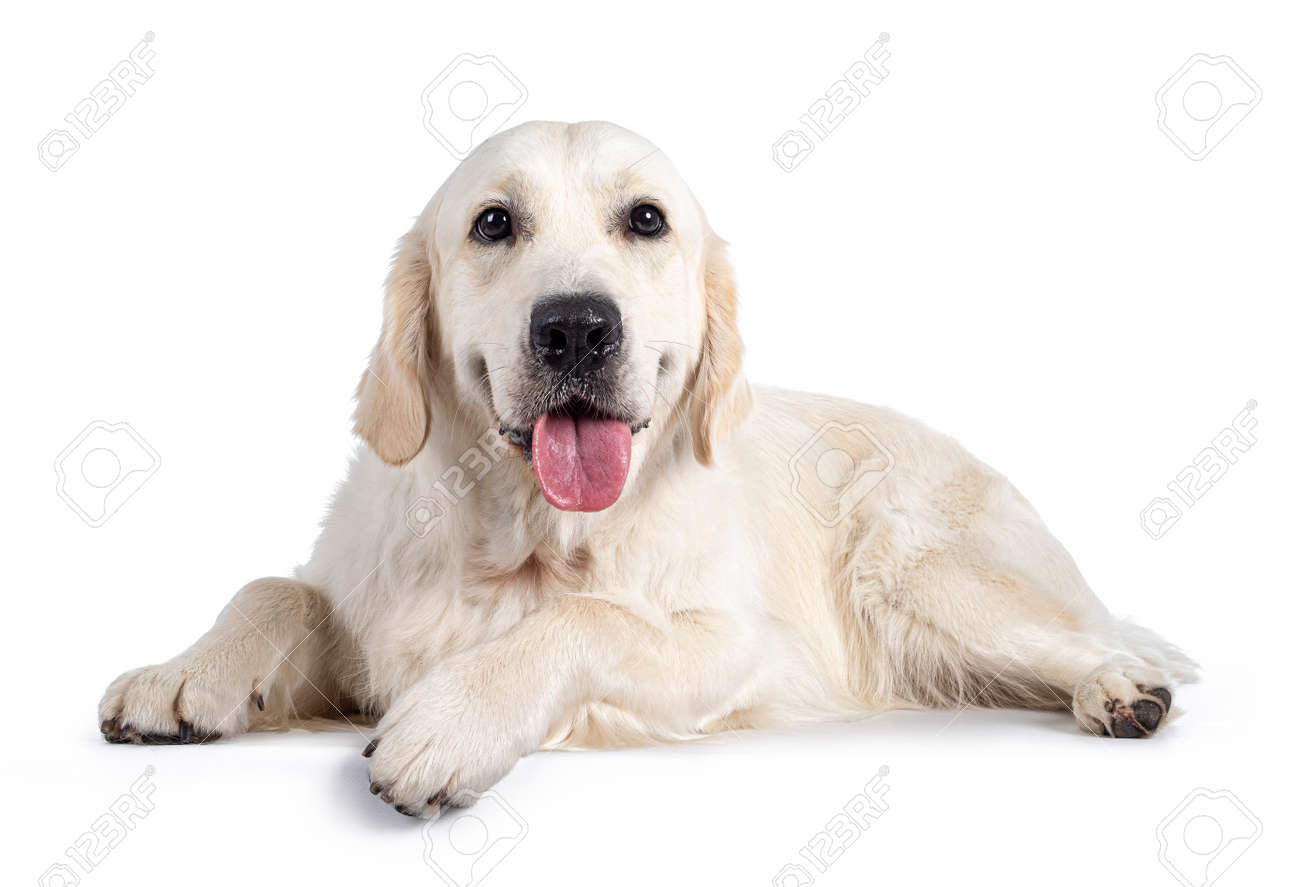 Handsome young adult male Golden Retriever dog, sitting up facing front. Tongue out of mouth, looking straight to camera. Isolated on a white background. - 173357226