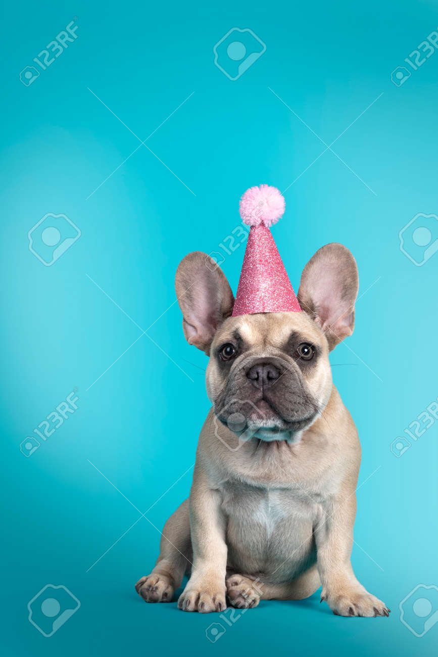 Adorable French Bulldog puppy, sitting up facing front wearing pink glitter party hat. Looking towards camera. Isolated on turquoise background. - 173357235