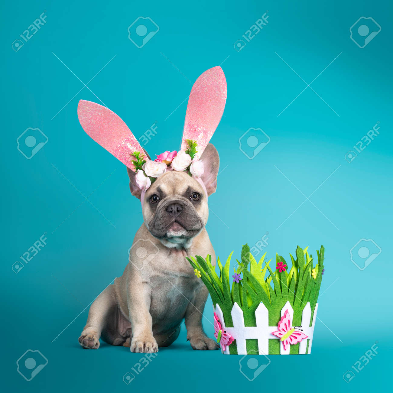 Adorable French Bulldog puppy, sitting up facing front wearing pink rabbit ear Easter hat. Looking towards camera. Isolated on turquoise background. - 173357236