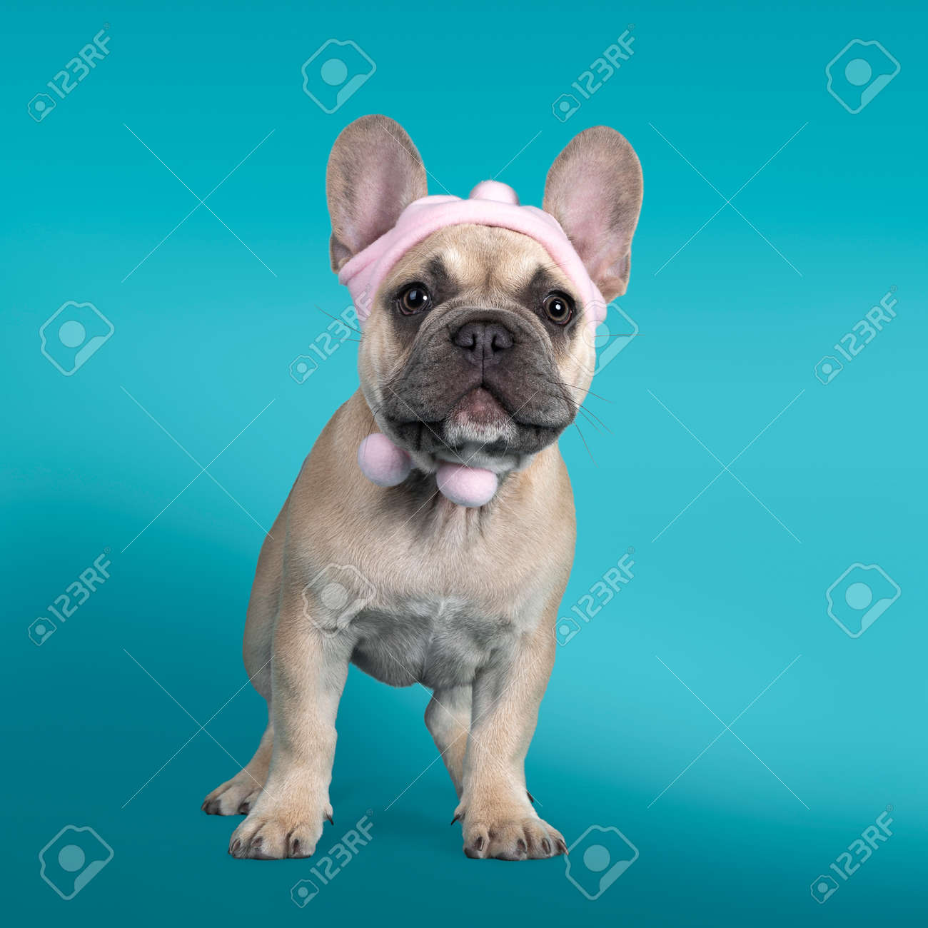 Adorable French Bulldog puppy, standing facing front wearing soft pink hat. Looking towards camera. Isolated on turquoise background. - 173357238