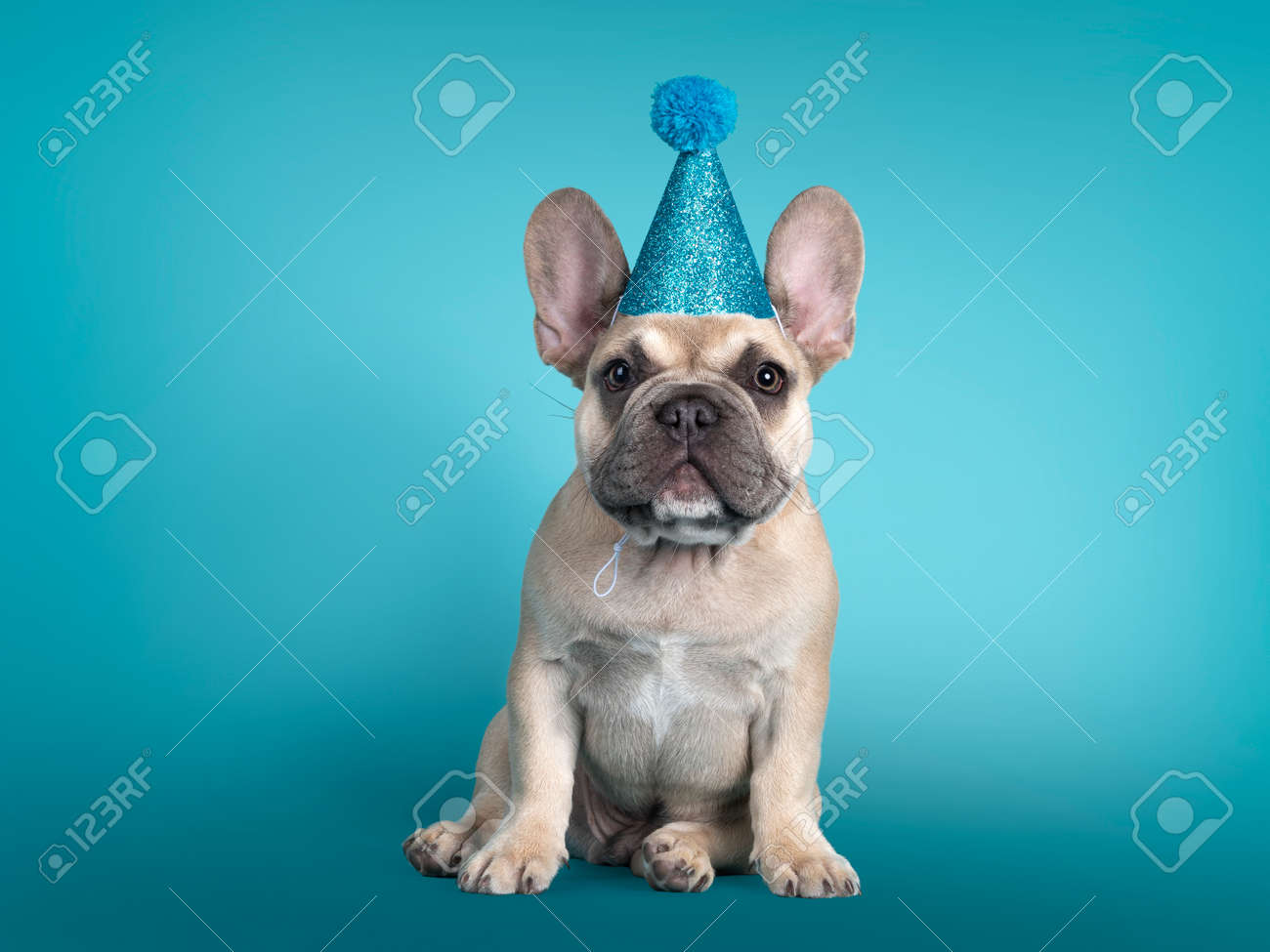 Adorable French Bulldog puppy, sitting up facing front wearing blue glitter party hat. Looking towards camera. Isolated on turquoise background. - 173357240