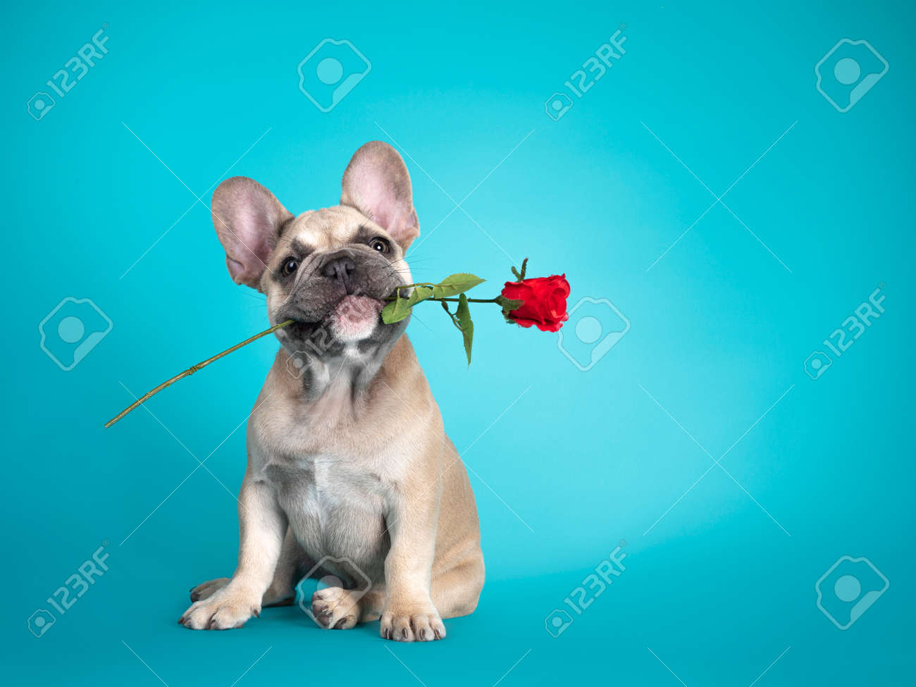 Adorable French Bulldog puppy, sitting up holding red rose in mouth. Looking towards camera. Isolated on turquoise background. - 173357241