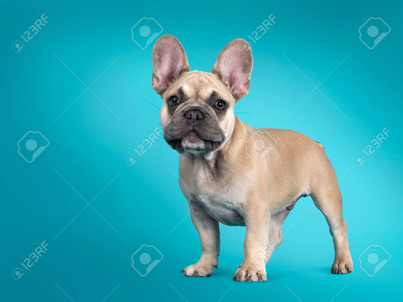 Adorable French Bulldog puppy, standing sideways. Looking towards camera. Isolated on turquoise background. - 173357246