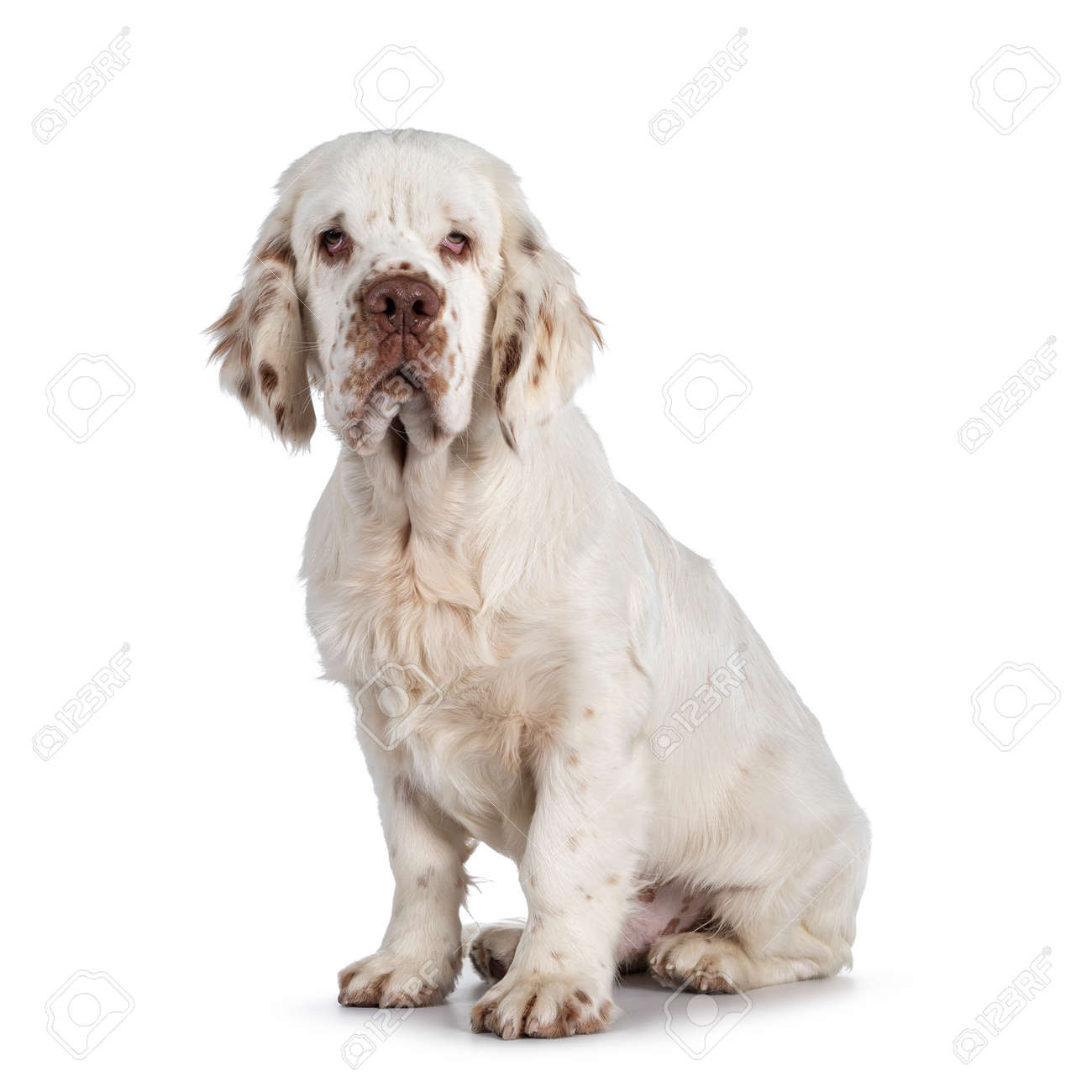 Cute Clumber Spaniel dog puppy, sitting up side ways. Looking towards camera with the typical droopy eyes. Isolated on a white background. - 173357249