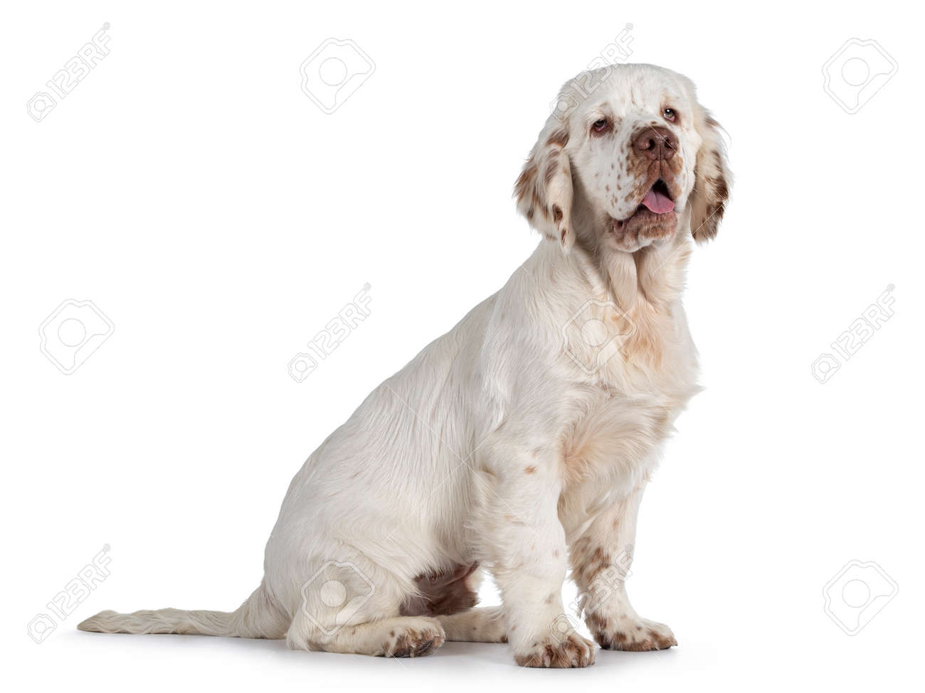 Cute Clumber Spaniel dog puppy, sitting up side ways. Looking away from camera with the typical droopy eyes. Tingue out. Isolated on a white background. - 173357251