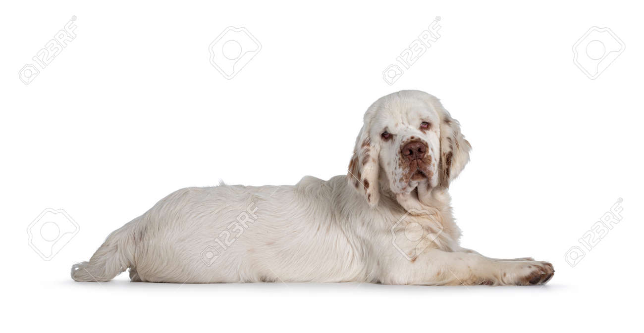 Cute Clumber Spaniel dog puppy, laying down side ways. Looking towards camera with the typical droopy eyes. Isolated on a white background. - 173357255