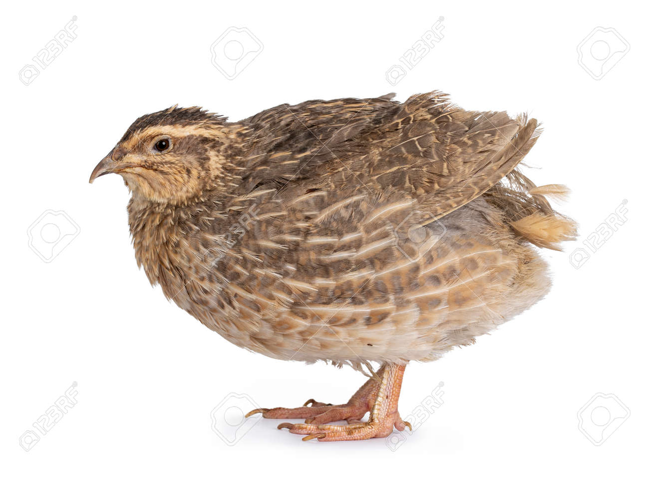 Pastel or blue Quail bird, standing side ways. Looking away from camera. isolated on a white background. - 173044799