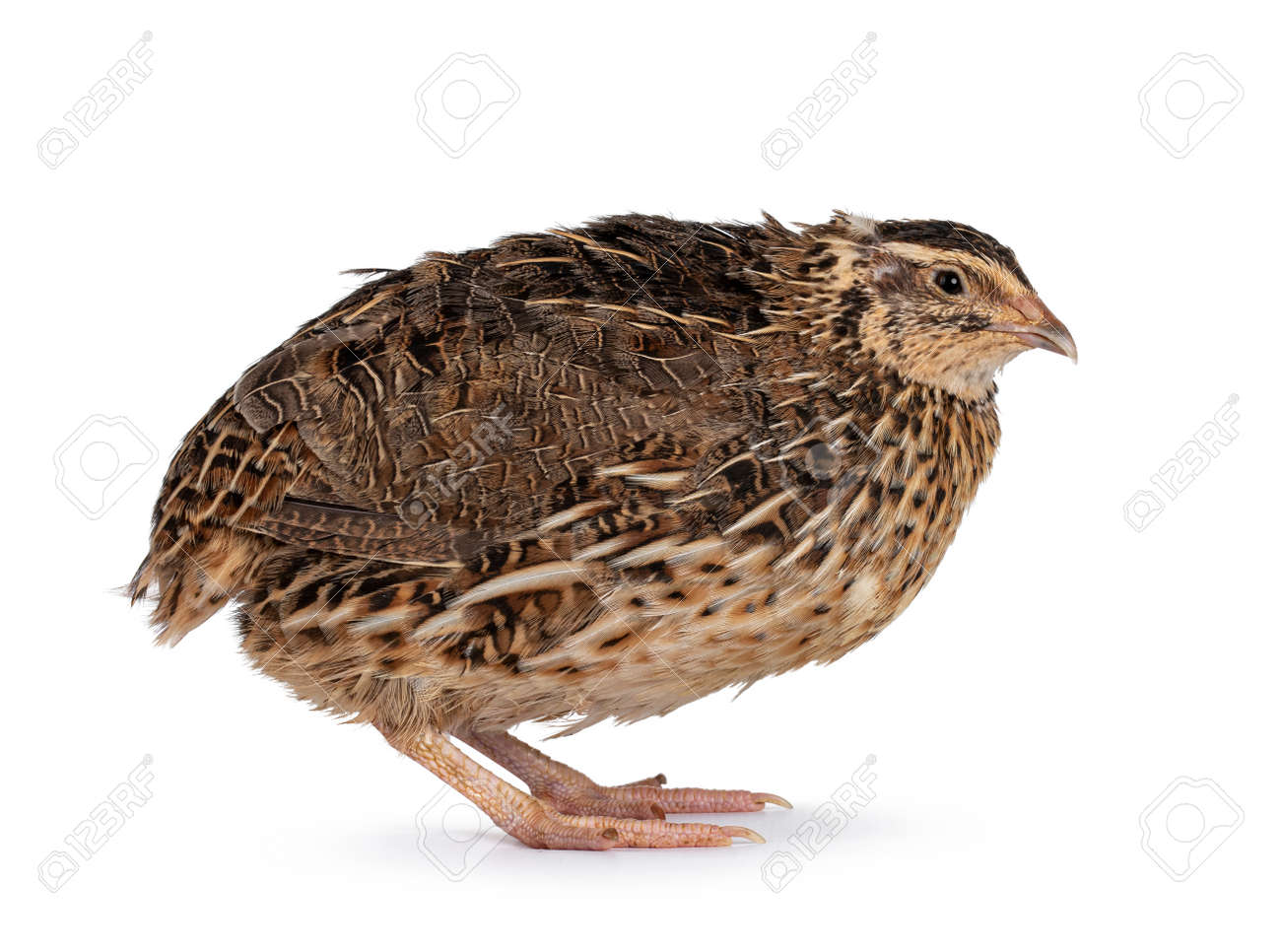 Roux brown Quail bird, standing side ways. Looking away from camera. isolated on a white background. - 173044499