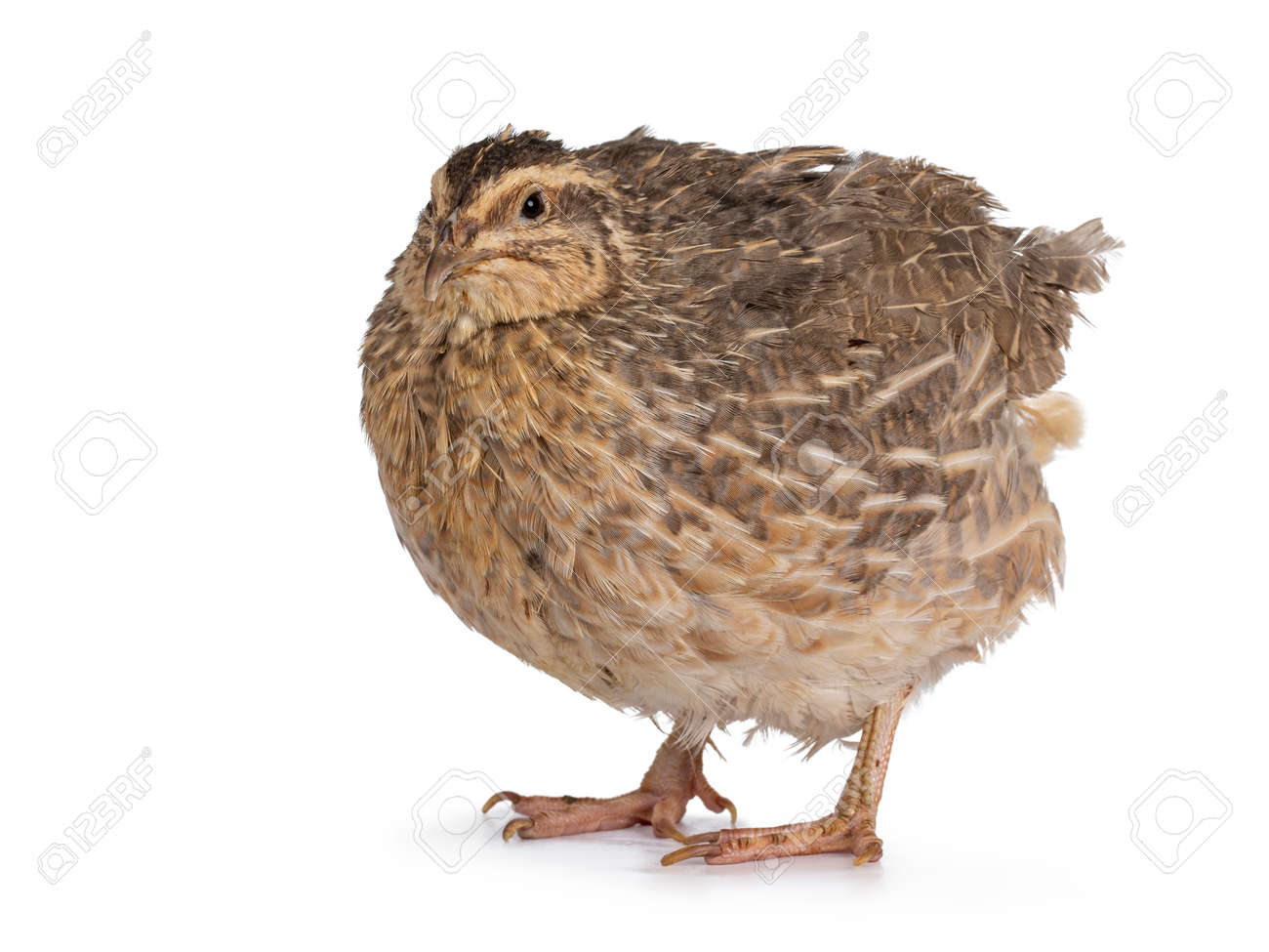 Pastel or blue Quail bird, standing side ways. Looking towards camera. isolated on a white background. - 173044741