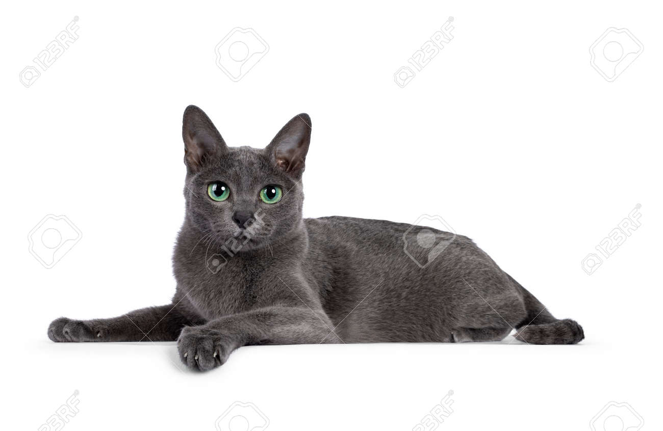 Young silver tipped Korat cat, laying down side ways. Looking towards camera with bright green eyes and attitude. Isolated on a white background. - 173189075