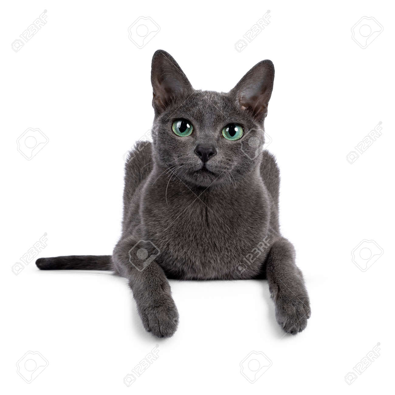 Young silver tipped Korat cat, laying down facing front with two paws over edge. Looking towards camera with bright green eyes and attitude. Isolated on a white background. - 173188997