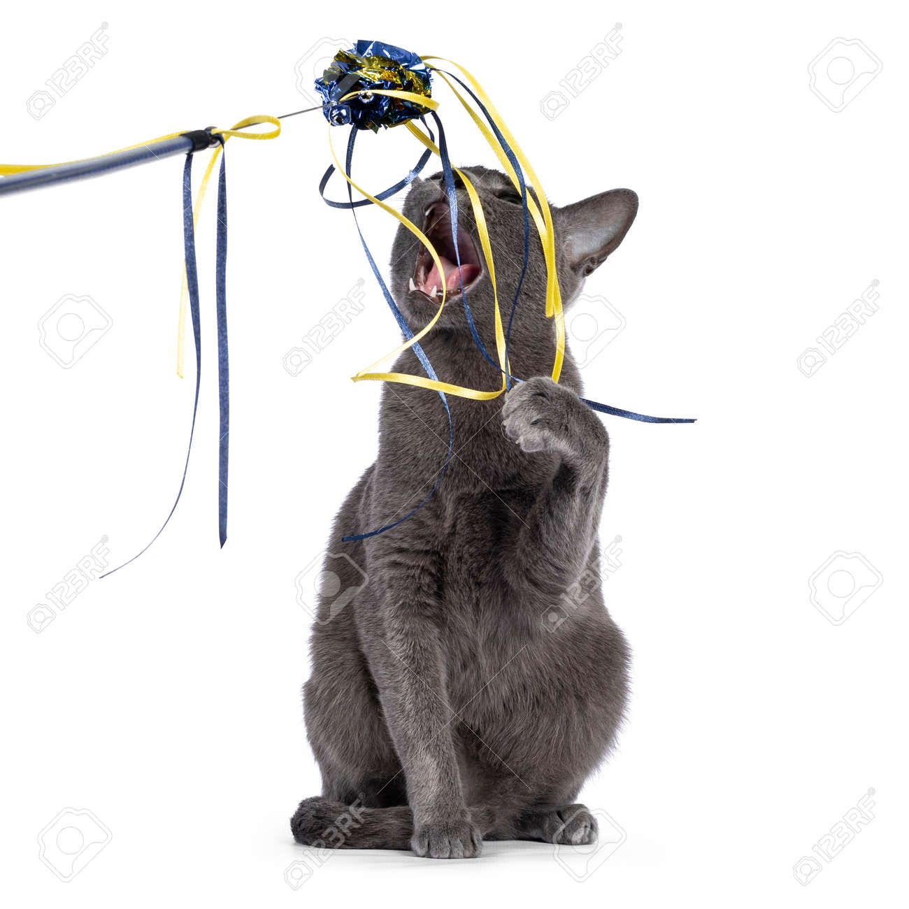 Young silver tipped Korat cat, sitting facing front. Playing and biting in cat toy. Isolated on a white background. - 173188850
