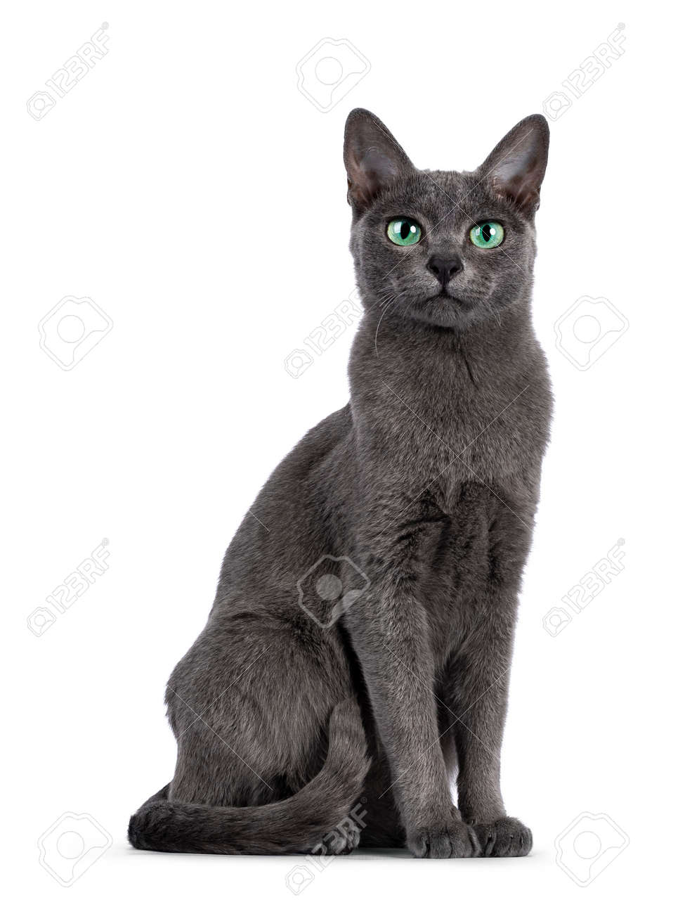 Young silver tipped Korat cat, sitting up like statue. Looking towards camera with bright green eyes and attitude. Isolated on a white background. - 173188937
