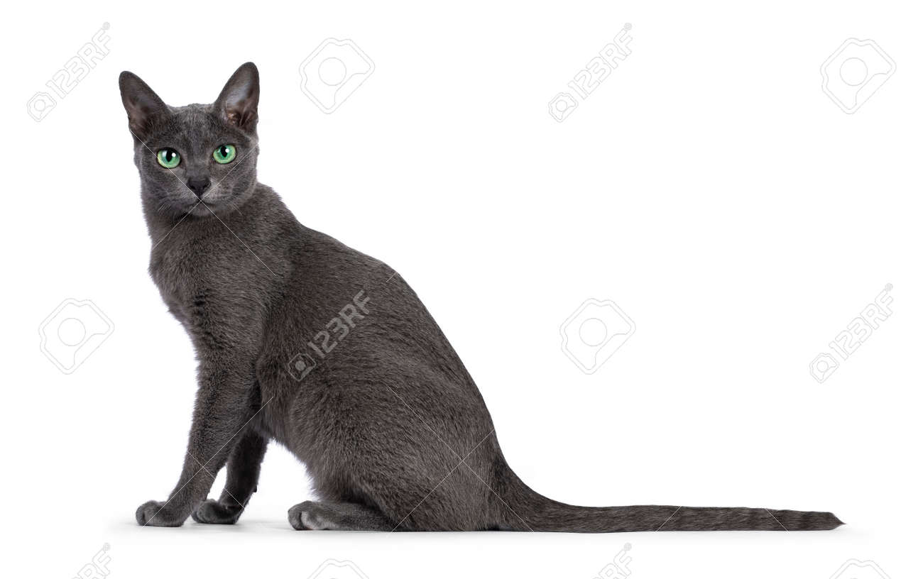 Young silver tipped Korat cat, sitting up side ways. Looking towards camera with bright green eyes and attitude. Isolated on a white background. - 173189043