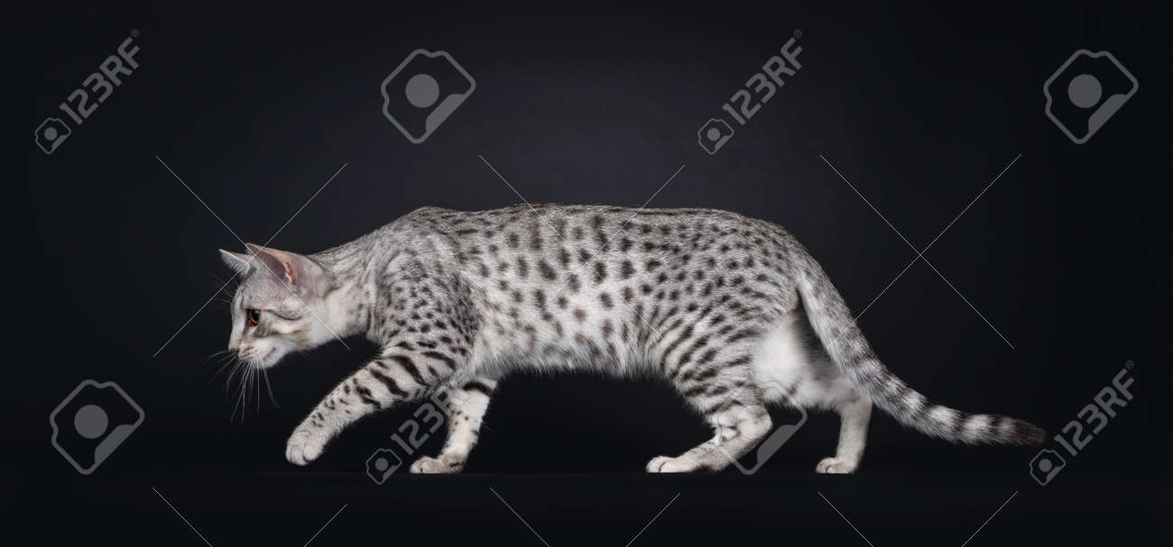 Excellent Egyptian Mau cat, creeping side ways. Looking straight ahead from camera showing pattern and dorsal stripe. Isolated on a black background. - 173357259