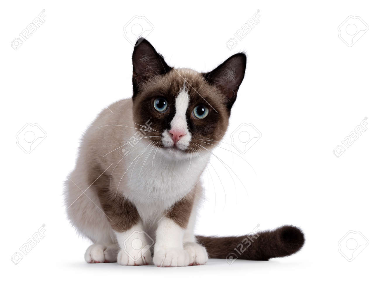 Adorable young Snowshoe cat kitten, sitting front view. Looking curious towards camera with the typical blue eyes. Isolated on a white background. - 173357261