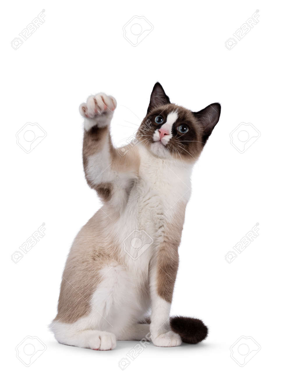 Adorable young Snowshoe cat kitten, sitting up front view. Looking towards camera with the typical blue eyes. One paw playful high in air. Isolated on a white background. - 173357265