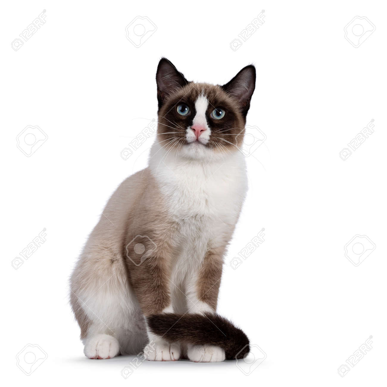 Adorable young Snowshoe cat kitten, sitting up front view. Tail around paws. Looking towards camera with the typical blue eyes. Isolated on a white background. - 173357268