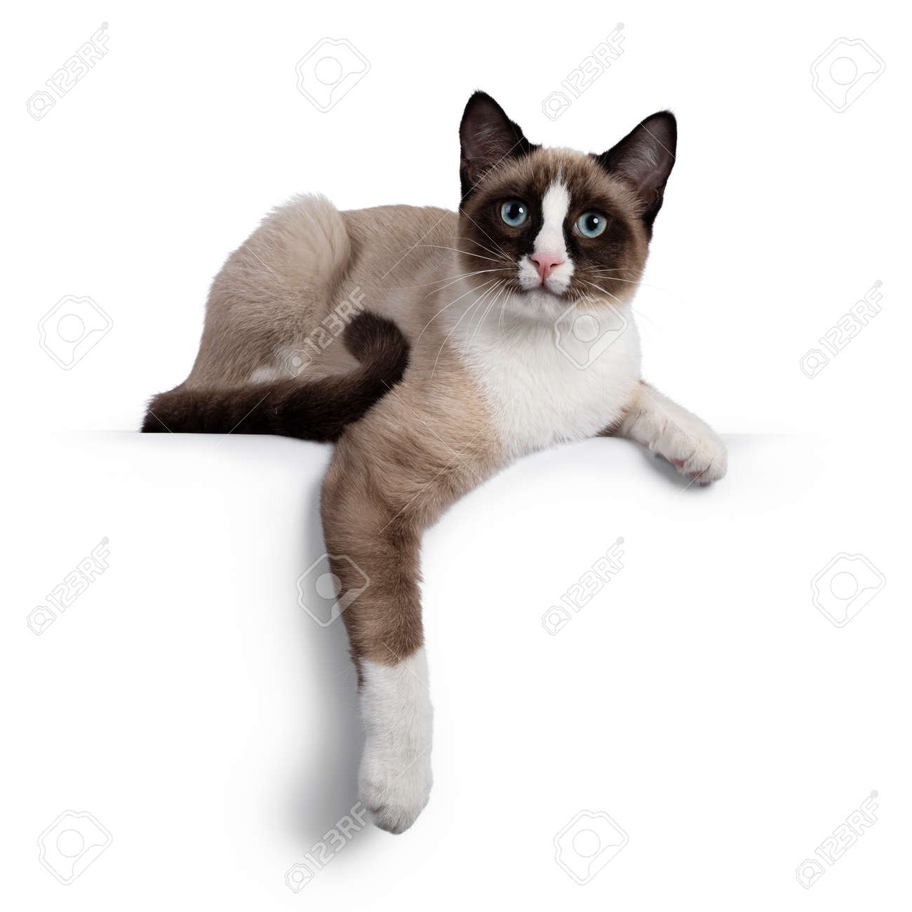 Adorable young Snowshoe cat kitten, laying down side ways. One paw hanging relaxed over edge. Looking towards camera with the typical blue eyes. Isolated on a white background. - 173357274