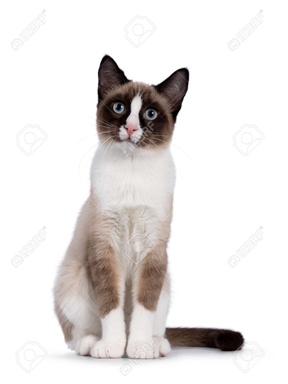 Adorable young Snowshoe cat kitten, sitting up front view. Looking towards camera with the typical blue eyes. Isolated on a white background. - 173357279