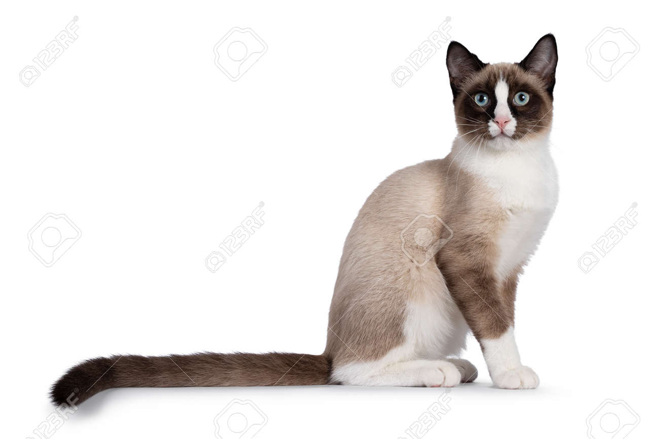 Adorable young Snowshoe cat kitten, sitting up straight side ways. Looking towards camera with the typical blue eyes. Tail stretched behind body. Isolated on a white background. - 173357280