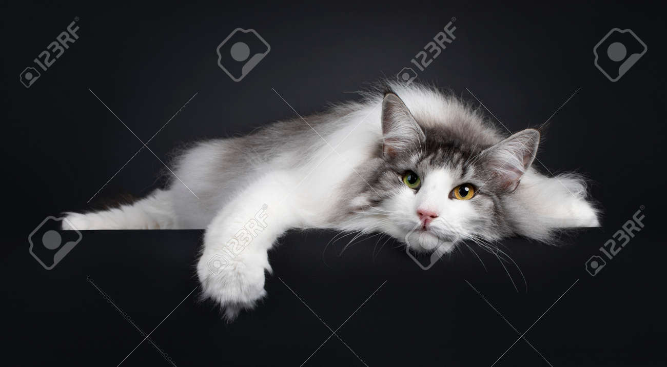 Funny picture of magnificent silver with white adult female Norwegian Forestcat, laying completely flat on edge. Face on floor. Looking towards camera with green orange odd eyes. Isolated on a black background. - 173357284
