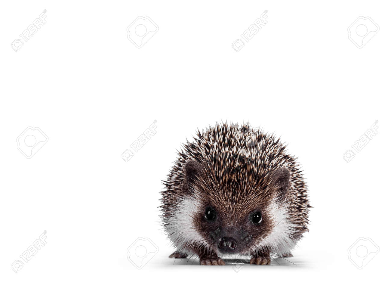 Cute full mask African Pygme Hedgehog, standing facing front. Looking straight to camera. Isolated on white background. - 173424714