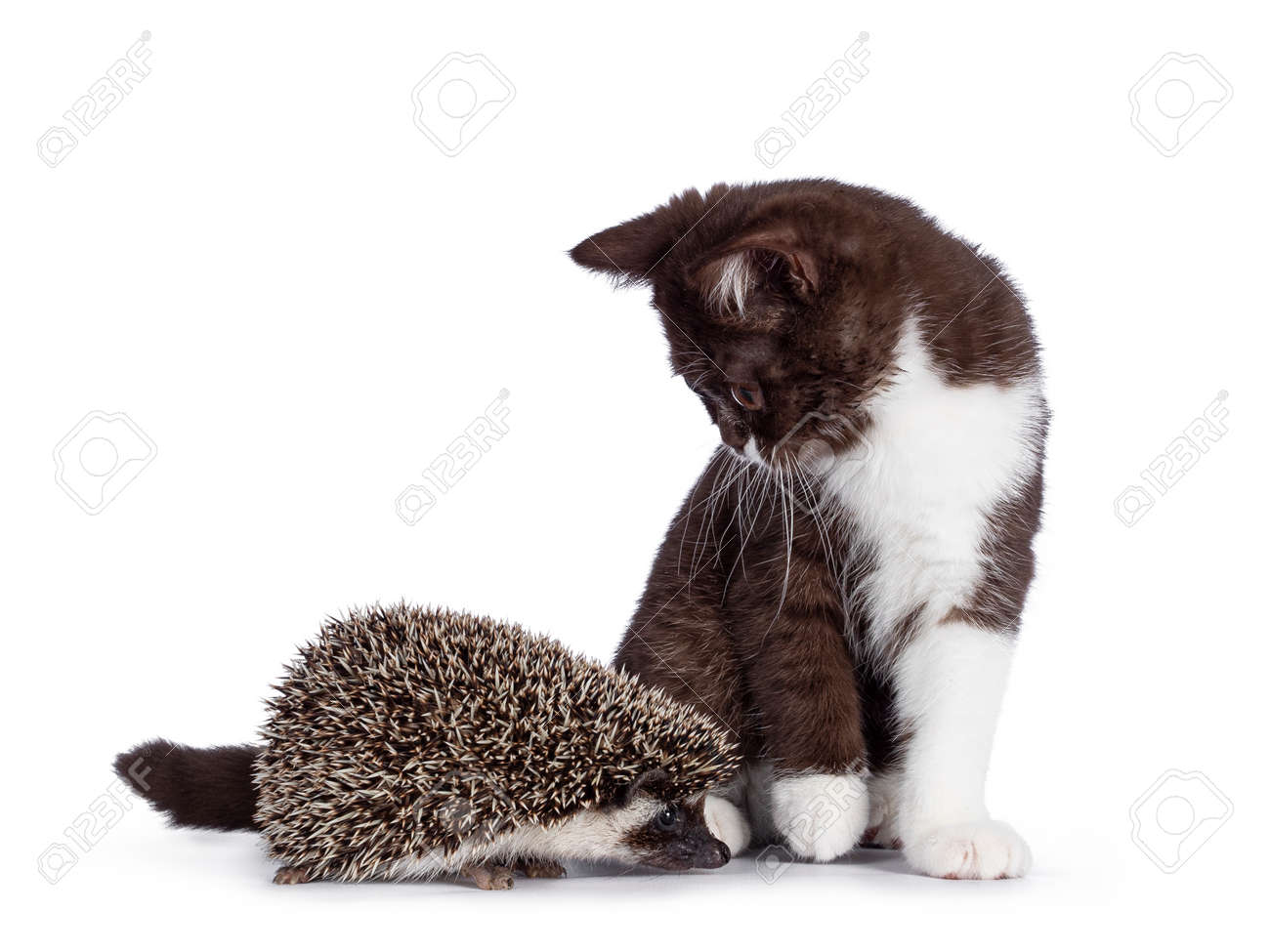 Cute brown with white British Shorthair cat kitten looking at full mask African Pygme Hedgehog, standing facing front. Looking straight to camera. Isolated on white background. - 173425167