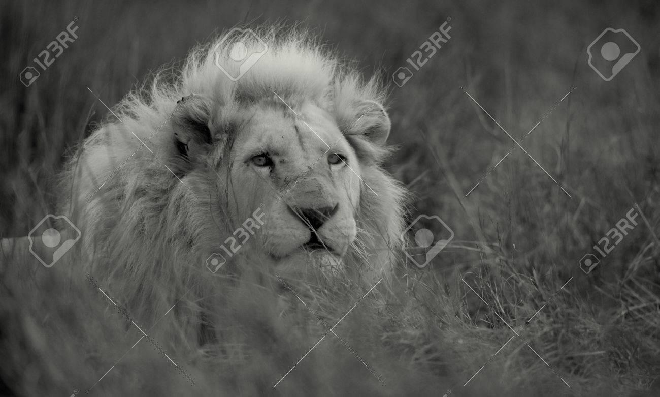 Populaire Un Grand Lion Blanc Mâle Sauvage Dans Cette Image En Noir Et Blanc  GI51