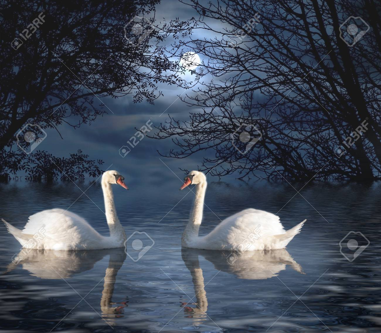 Swans By Moonlight >> Two White Swans Out For A Moonlight Swim Stock Photo Picture And