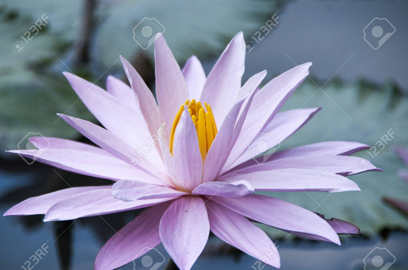 Pink Closed Lotus Nelumbo Nucifera Flower Over Green Background