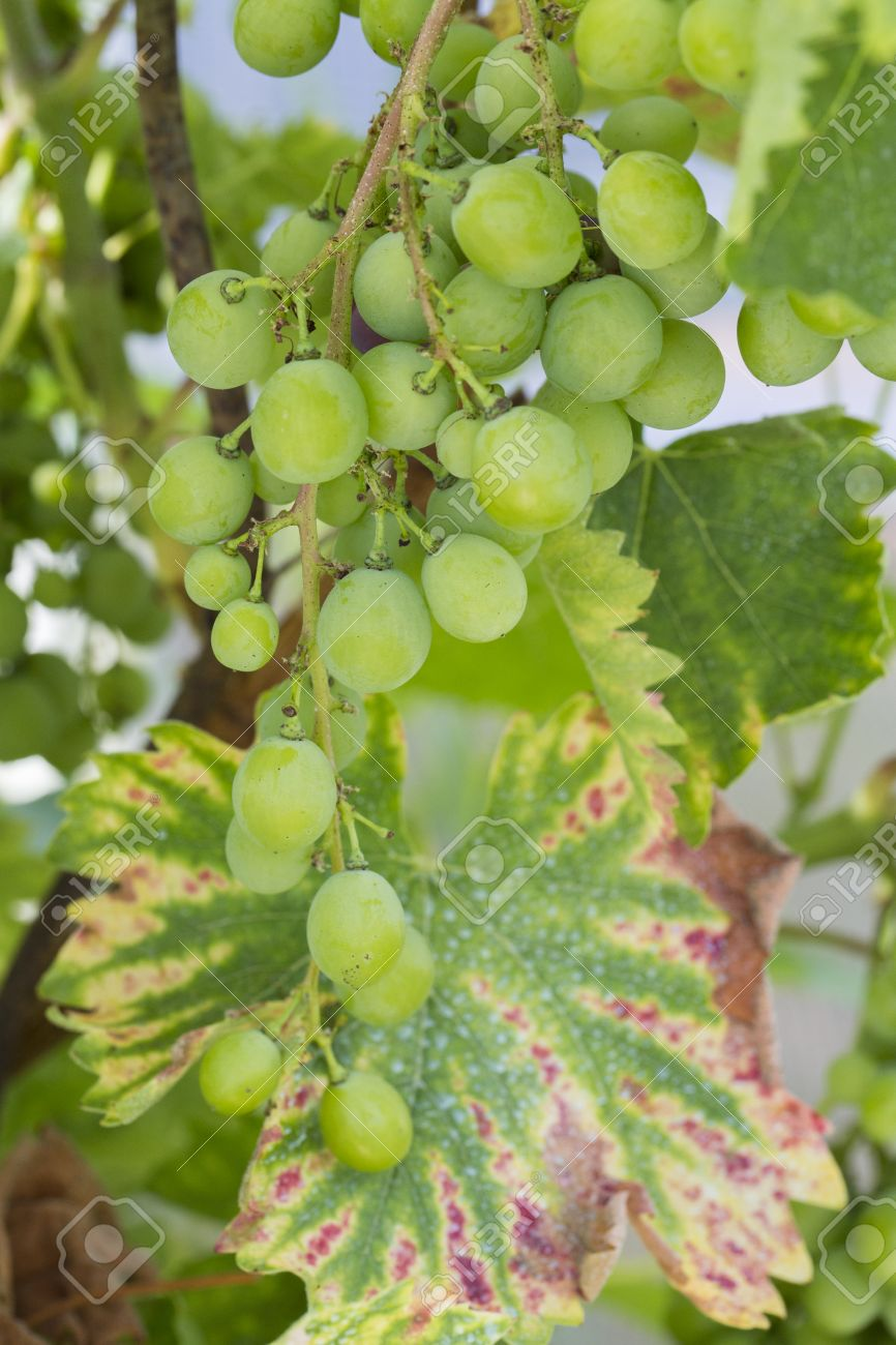 Diseases of grapes and their treatment. Treatment of grapes from diseases and pests 21