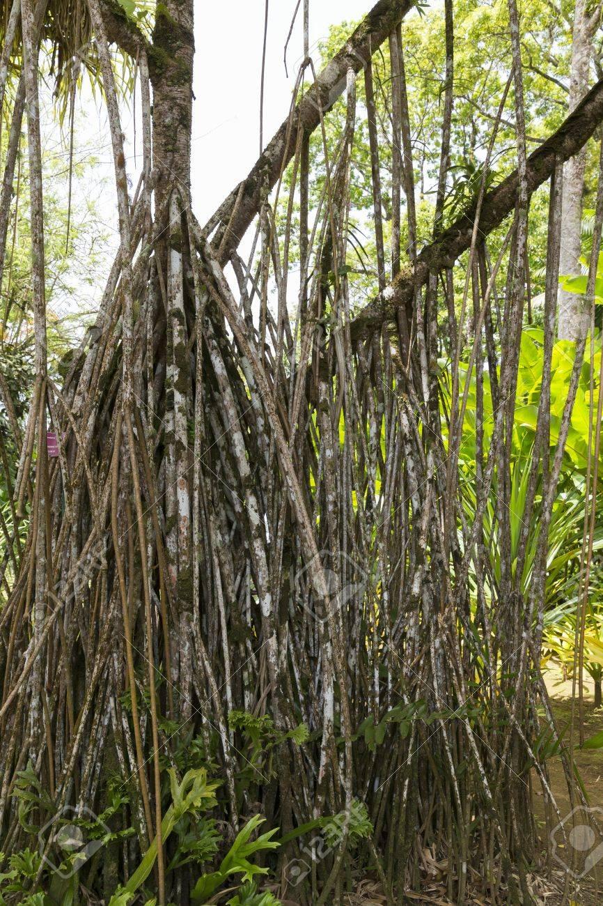 Root Pandanus Panach Tree In Tropical Garden Martinique Stock Photo ...
