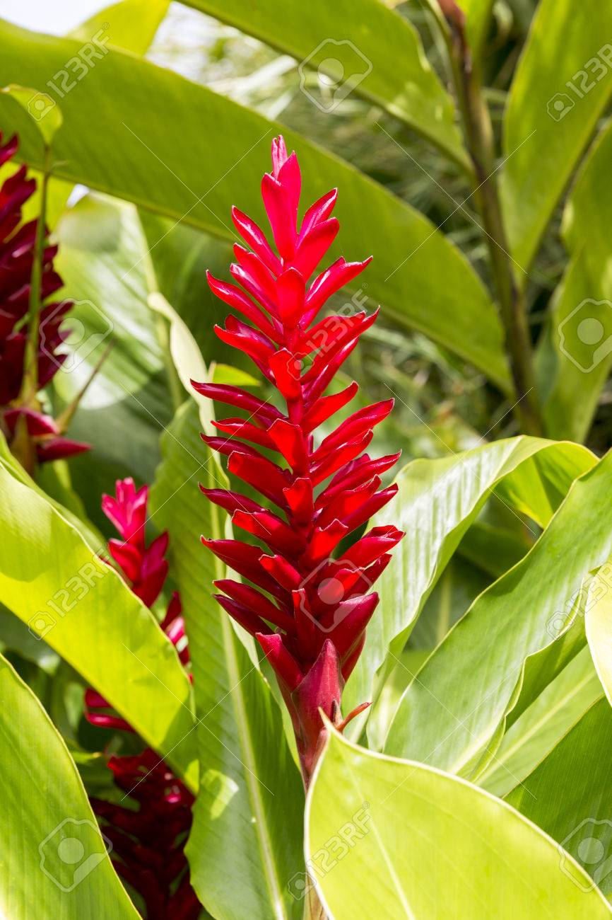 Stock Photo   Tropical Patio Plants. Red Ginger. Alpinia Purpurata  ,zingiberacee Herbaceous Rhizome