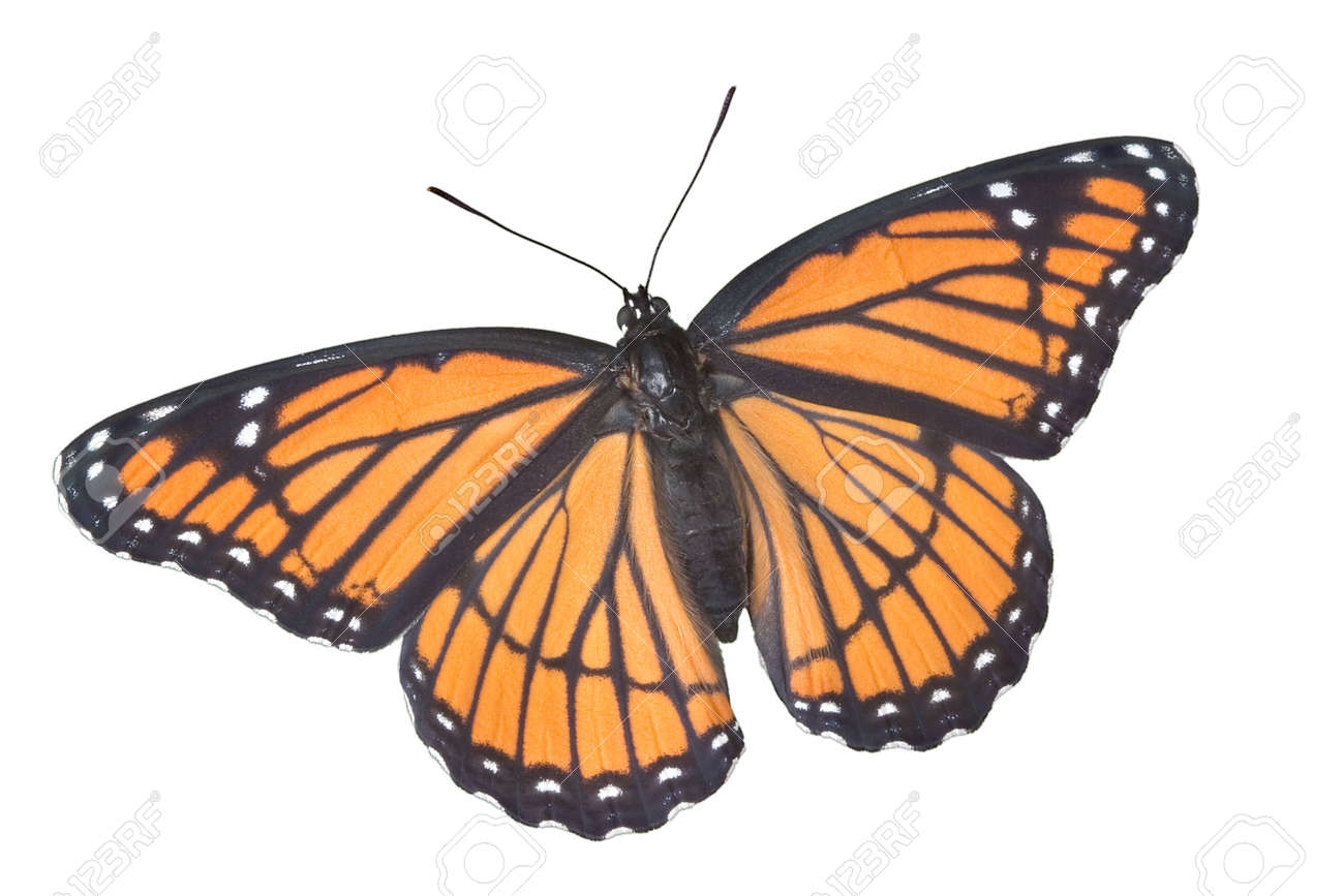 A viceroy butterfly with wings open is shown on a white background. Stock Photo - 2320426