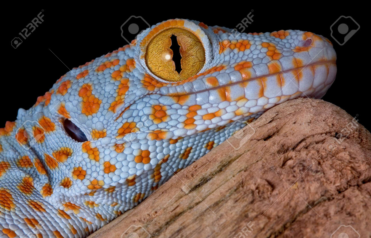 A young tokay gecko is resting on driftwood. Stock Photo - 5017586