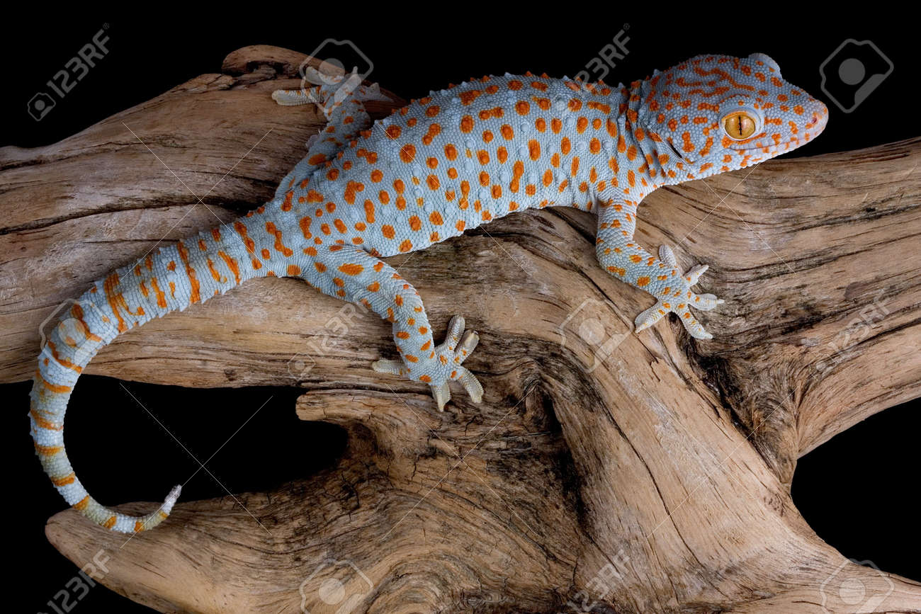 a tokay gecko is crawling over a piece of driftwood stock photo