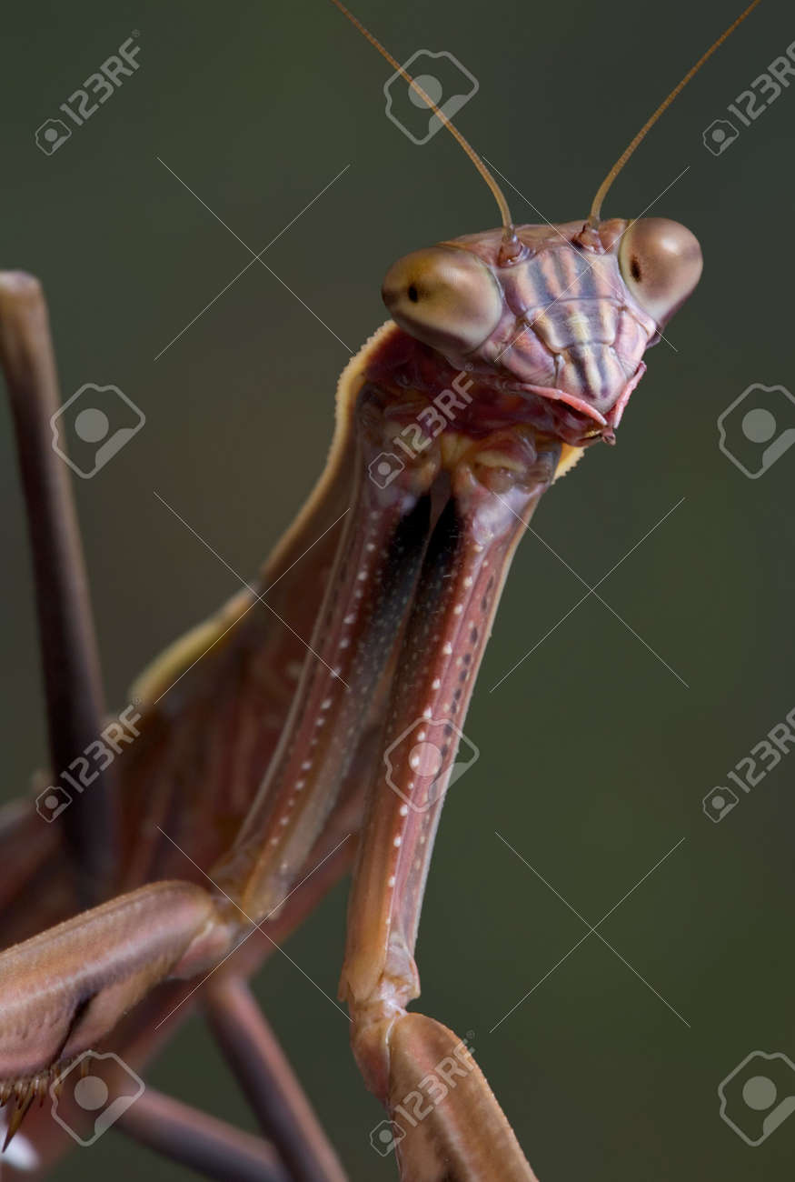 A male mantis is looing towards the camera. Stock Photo - 5465400