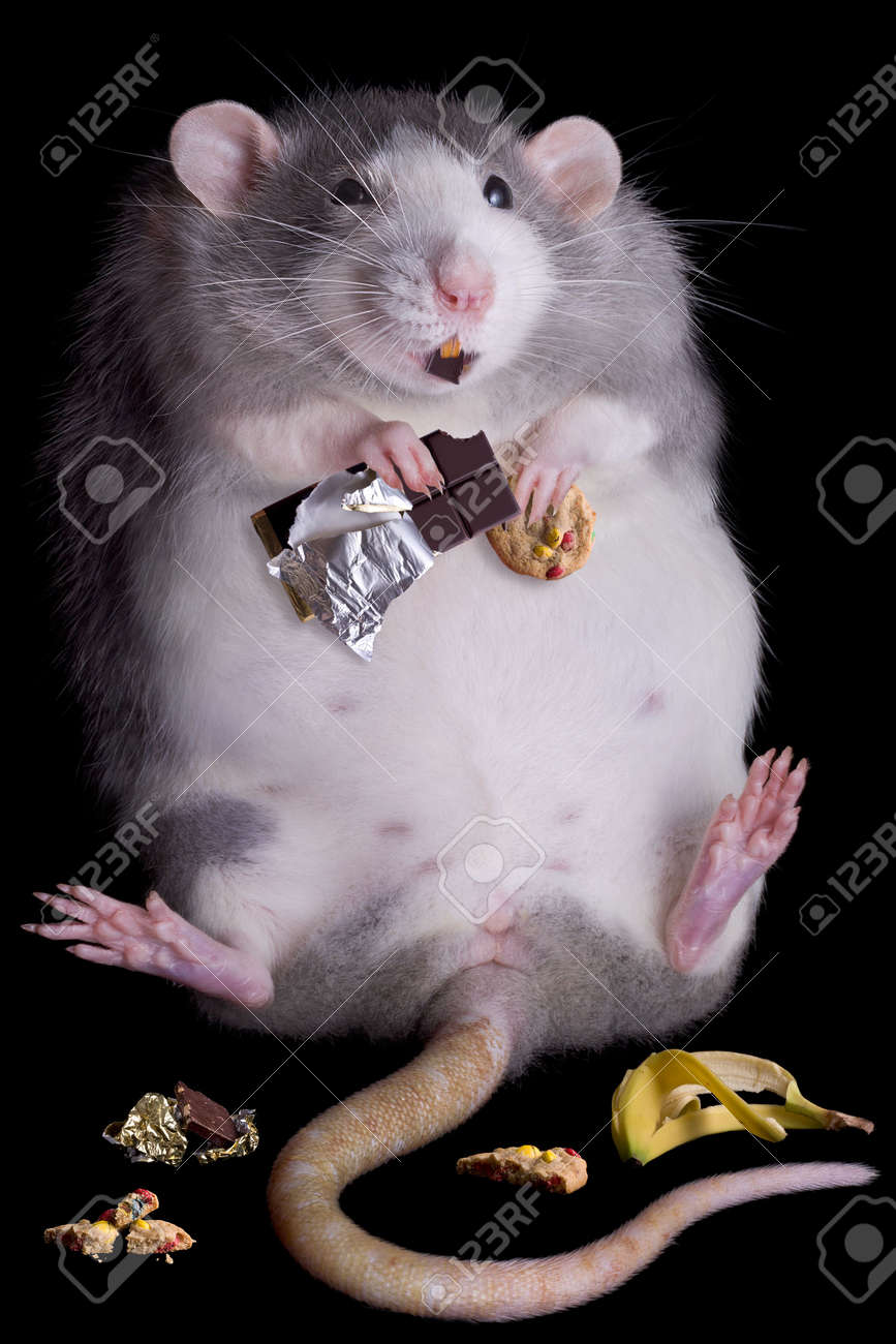 a fat rat named drucilla is eating candy and cookies stock photo