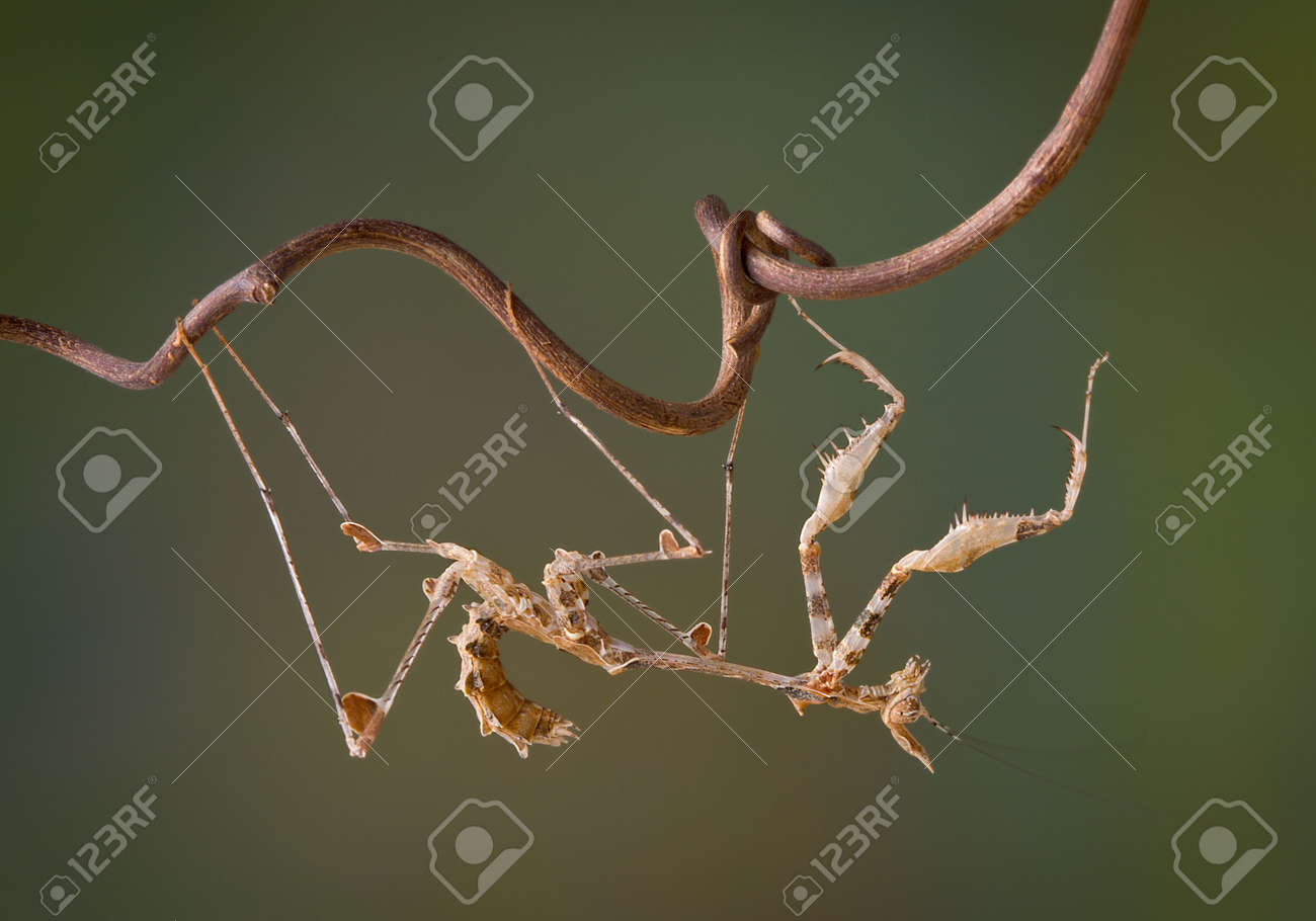 A small lichen mantis nymph is hanging upside down on a tiny vine. Stock Photo - 8091438
