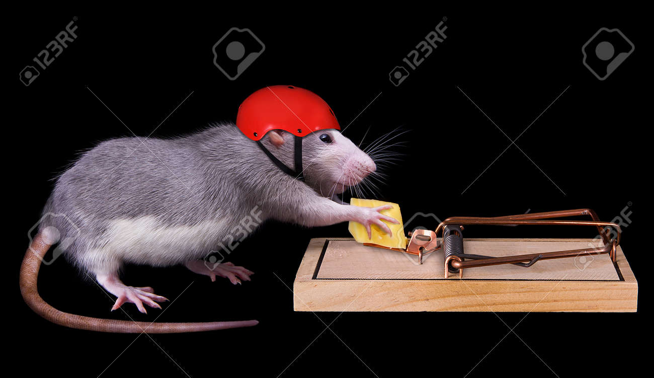 A rat is trying to steal a piece of cheese that is bait in a rat trap. She is wearing a helmet on to protect her. Stock Photo - 8576161