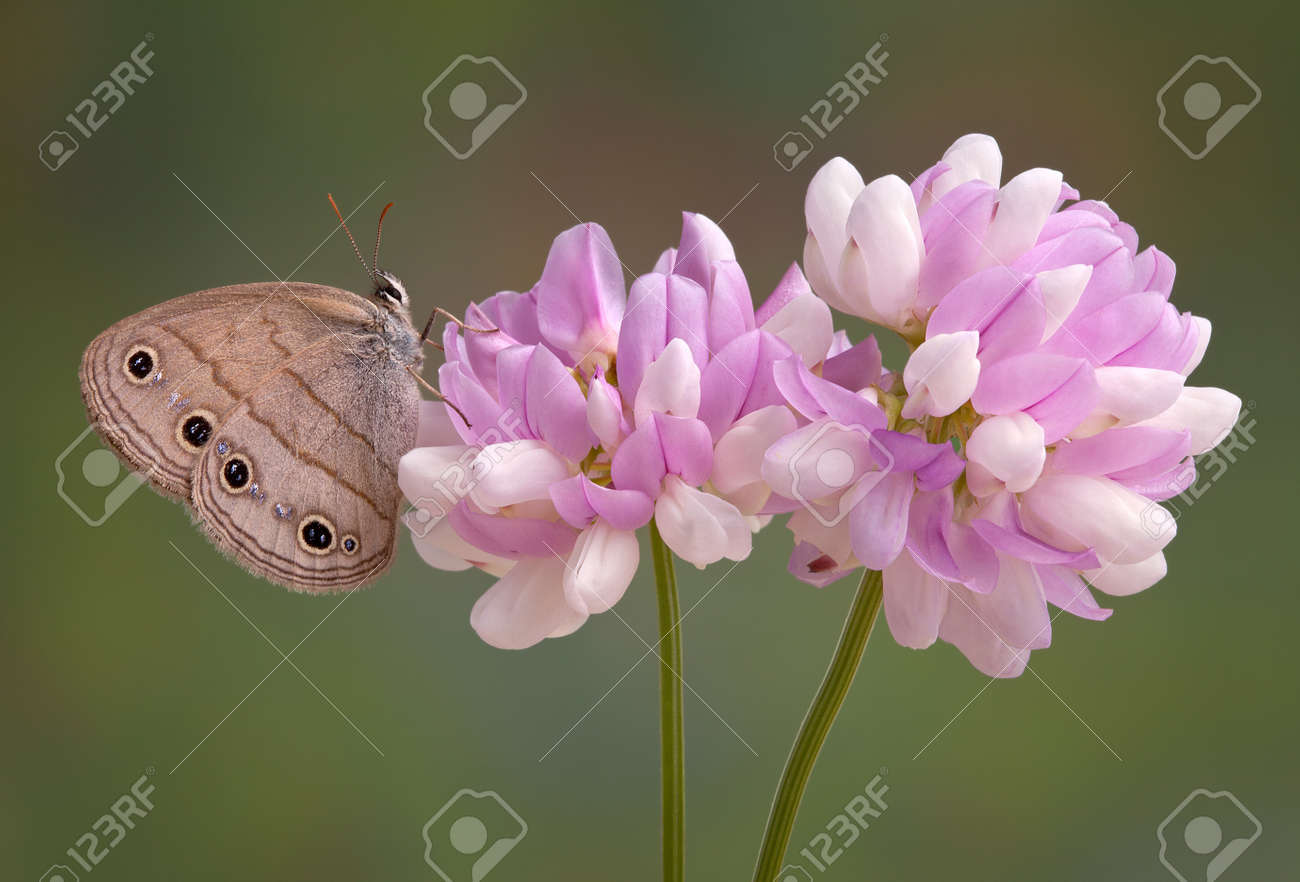 A Wood Satyr Is Resting On Pretty Pink Flowers Stock Photo Picture