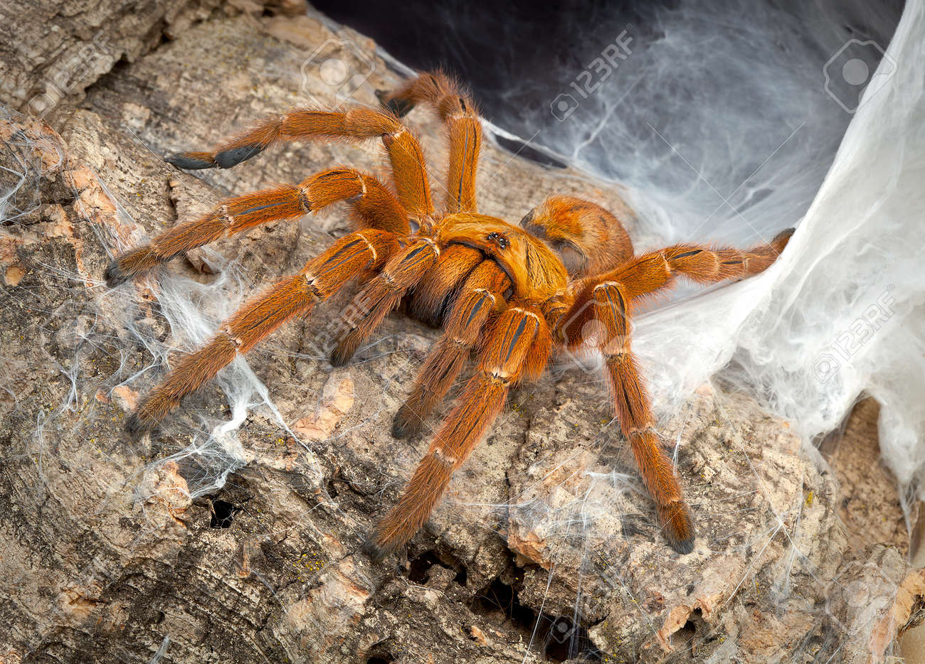 A female OBT tarantula is crawling out of her web. Stock Photo - 12822261