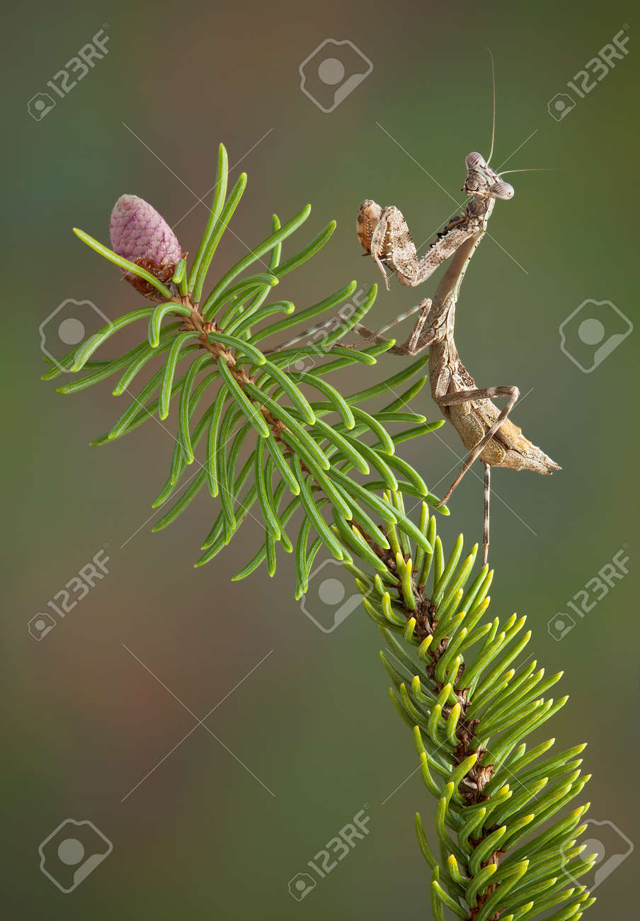Betty, the budwing mantis is sitting on a pine branch. Stock Photo - 13069242