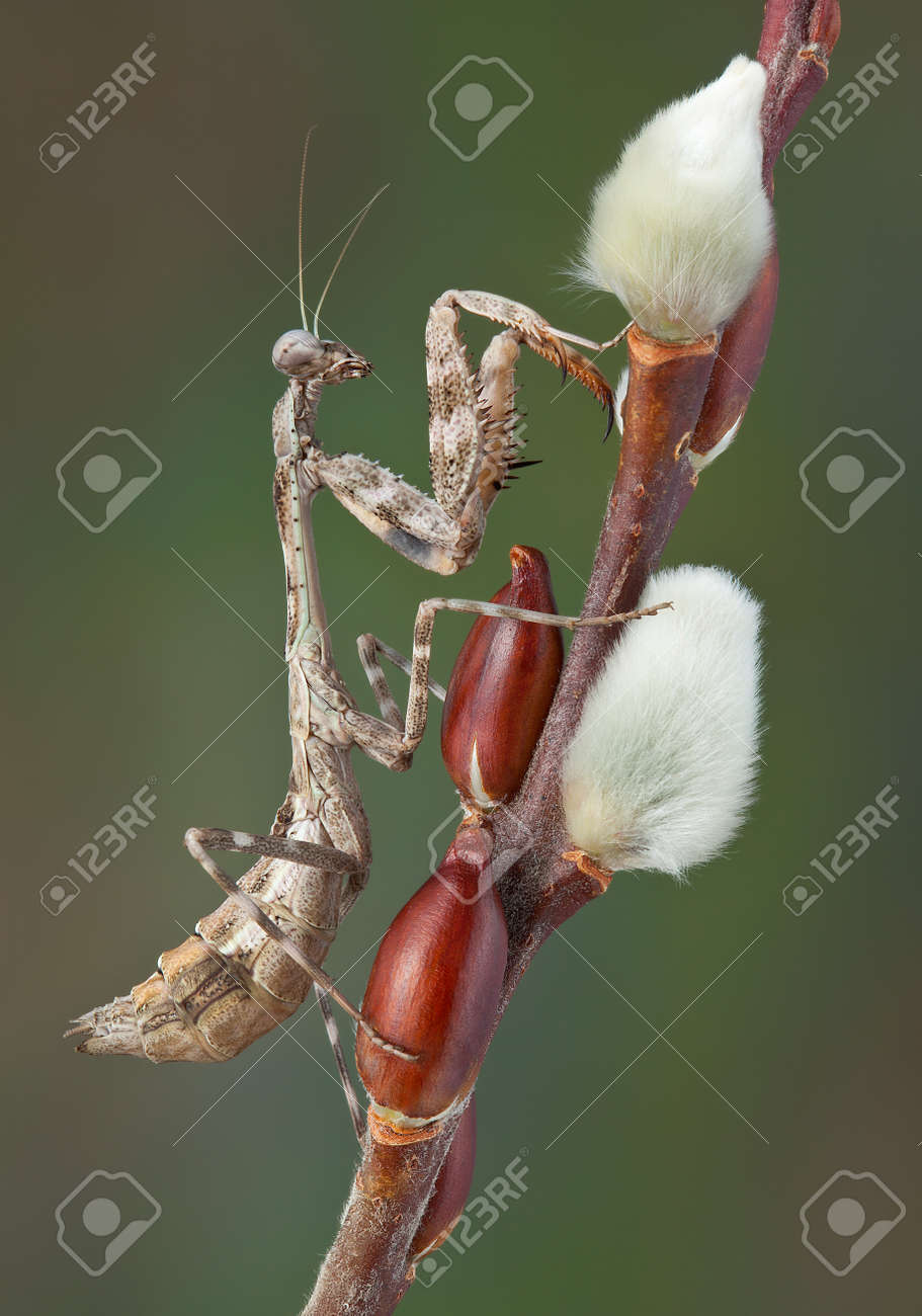 A female budwing mantis is climbing on a pussy willow branch. Stock Photo - 13104980